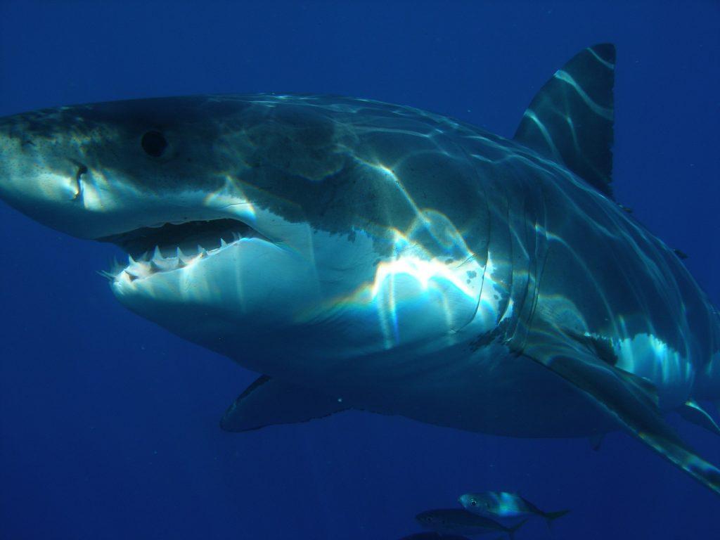 Rekin zabił badacza mórz